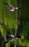 Sivhøne
